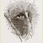 Nest Of Magpie Art Print