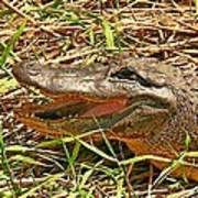 Nesting Alligator Art Print