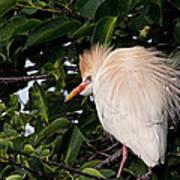 Nesting Cattle Egret Art Print