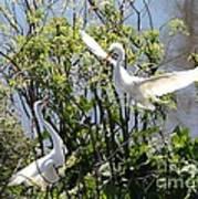 Nesting Great Egrets Art Print