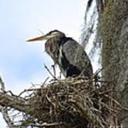 Nesting Heron Art Print