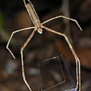 Net-casting Spider Art Print