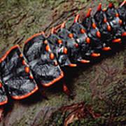 Net-winged Beetle  Borneo Art Print