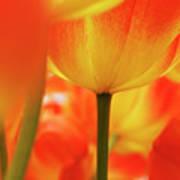 Netherlands, Macro Of Colorful Tulip Art Print