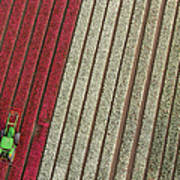 Netherlands, Tractor In Tulip Fields Art Print