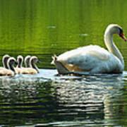 New Mute Swan Family In May Art Print