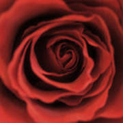 Close Up Heart Of A Red Rose Art Print
