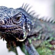 Close Up Beady Eyed Iguana Art Print
