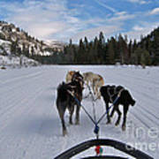 Riding Through The Colorado Snow On A Husky Pulled Sled Art Print