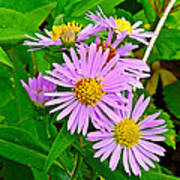New York Asters In Flower's Cove-newfoundland Art Print