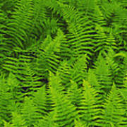 New York Ferns Art Print