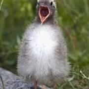 Newborn Arctic Tern Chick With Mouth Art Print