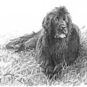 Newfoundland Dog Pencil Portrait Art Print