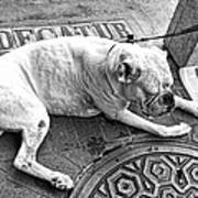 Newsworthy Dog In French Quarter Black And White Art Print