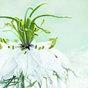 Nigella Damascena 'double White'  Art Print