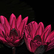 Night Blooming Lily 1 Of 2 Art Print