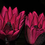 Night Blooming Lily 2 Of 2 Art Print