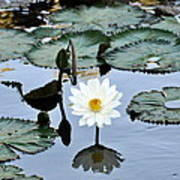 #night Blooming Water Lily Art Print