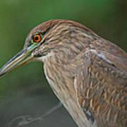 Night Heron Art Print