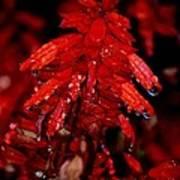 Night Of Glistening Red Salvia Art Print