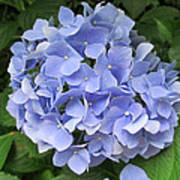 Nikko Blue Hydrangea Art Print