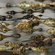 Nile Crocodiles Crocodylus Niloticus Art Print