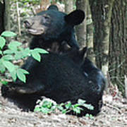 Bear - Cubs - Mother Nursing Art Print