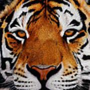 Nobility   Amur   Siberian  Tiger Art Print