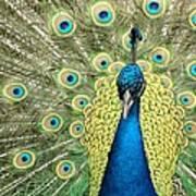 Noble Peacock Art Print