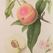 Noblesse Peach Art Print