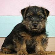 Norfolk Terrier Puppy Dog, Sitting Art Print