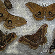 North American Large Moth Collection Art Print