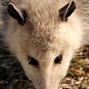 North American Opossum In Winter Art Print