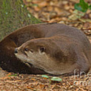 North American River Otter Art Print