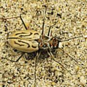 Northern Beach Tiger Beetle Marthas Art Print