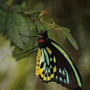 Northern Butterfly Art Print