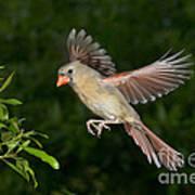 Northern Cardinal Hen Art Print