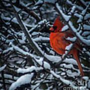 Northern Cardinal In Winter Art Print