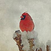 Northern Cardinal Art Print by Sandy Keeton