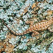 Northern Fence Lizard Art Print