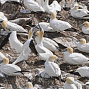 Northern Gannets Art Print