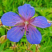Northern Geranium In Jasper National Park-alberta  Art Print