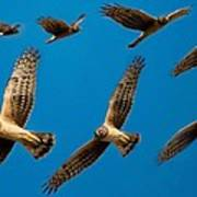 Northern Harrier Sequence Art Print