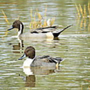 Northern Pintail Ducks  Art Print