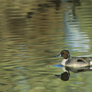 Northern Pintail In A Quiet Pond California Wildlife Art Print