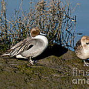 Northern Pintail Pair At Rest Art Print
