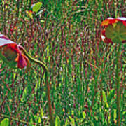 Northern Pitcher Plant In French Mountain Bog On Cape Breton Isl Art Print
