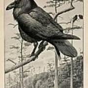 Northern Raven Art Print