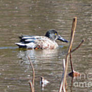 Northern Shoveler Duck  Art Print