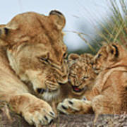 Nostalgia Lioness With Cubs Art Print